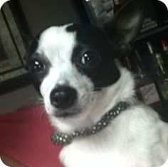 Bucks County, PA - Chihuahua Mix. Meet Anna, a dog for adoption. http://www.adoptapet.com/pet/17024268-bucks-county-pennsylvania-chihuahua-mix