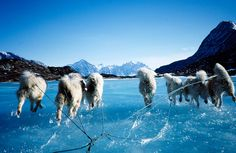 Greenland dogs working the overflow.