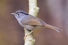 Mountain Fulvetta (Alcippe peracensis) @ Fraser Hill | Flickr - Photo Sharing!