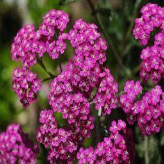 Yarrow Cerise Queen Flower Seeds (Achillea Millefolium) 200+Seeds