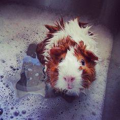 15 idées pour améliorer la vie de votre adorable cochon d'Inde