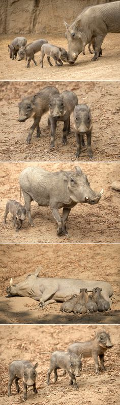 Squee alert! Four little warthog piglets—1 female and 3 males—made their debut at the San Diego Zoo Safari Park and explored their African Outpost habitat this week. Born on July 12, this is the 3rd litter to mother Orkima and father Stuart.