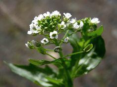 Peltotaskuruoho, Thlaspi arvense - Kukkakasvit - LuontoPortti