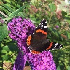 Koko päivä Korkeasaaressa. Parasta perhoset ja leppäkertut. Iso hiekkakasa ja eväsleivät. Aurinko ja raikas tuuli.  #amiraaliperhonen #perhonen #butterfly #sunday #trip #retkellä #korkeasaari