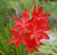 Buy Schizostylis coccinea Major: Delivery by PlantstoPlant.com