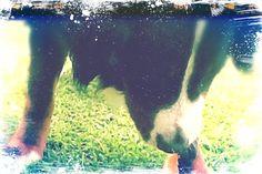 My cutie. My gorgeous Bernese mountain dog.