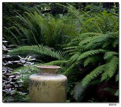 Polystichum munitum (Western sword fern) - for the shade area by cat ladder. Seaside Garden, Tropical Garden, Landscape Design, Garden Design, Sword Fern, Shade Garden Plants, Woodland Garden, Landscaping Plants, Trees And Shrubs