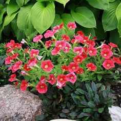 BHG garden editors recommend the beautiful Shock Wave Coral Crush Petunia. http://media-cache2.pinterest.com/upload/56787645271165915_iubtJkRV_f.jpg bhg gardening trends
