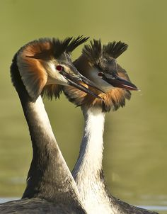 Great Crested Grebes...don't they look a bit like Queen Elizabeth I.....