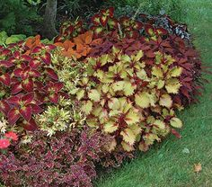 In a shady spot at the nursery under a Dogwood tree, our head gardener had the idea of combining 6 Coleus varieties. The result is an explosion of color and contrast that will last from spring to frost. Our collection includes 1 plant each of Coleus ColorBlaze® Keystone Kopper™ (PPAF), 'Dipt in Wine,' Henna (PP 19,149), 'Mint Mocha' (PP 20,387), 'Oxblood,' and Under the Sea® Bone Fish. The 6 plants will cover approx. 9 sq ft.For information on growing Coleus, click Growing Guide.