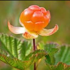 Hilla,lakka,valokki or suomuurain-Cloudberry Finland Summer, Summer Fruit, People Art, Science And Nature, Botanical Art, Fresh Fruit, Wonders Of The World, Landscape Design, Wild Flowers