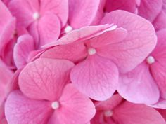 Pink Hydrangeas ....cannot wait to see these bloom again :)
