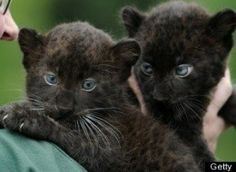 PHOTOS: This Week's Best In Animals -- Baby Black Panther Twins, Baby Giraffes, Snake Charmers And More