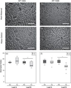 Drought induces alterations in the stomatal development program in Populus Botany, Journal, Journals