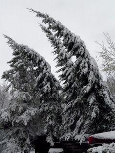 bent spruce tree - Google Search