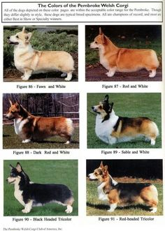 The Colors of the Pembroke Welsh Corgi
