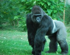 I have seen gorillas in the wild