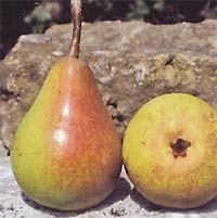 Roemische Schmalzbirne, Ernte: IIX-IX, nicht lagerfaehig, robust, fest, sehr saftig und sehr wuerzig. Grosser Baum fuer geschuetzte Lagen, jaehrlich + sehr fruchtbar