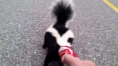 Early this morning near Orillia, Ontario in Canada, animator Mike MacMillan of SkeptiSketch came across a frantic skunk running around with an empty Coke can st