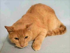 CHAI - A1116235 - - Brooklyn  ***TO BE DESTROYED 07/07/17***GOOD BEHAVIOR RATING…LIVED WITH ANOTHER CAT AND CHILDREN…CHAI was dumped by owner for no time – he has a heart murmur which should be checked after adoption. -  Click for info & Current Status: http://nyccats.urgentpodr.org/chai-a1116235/