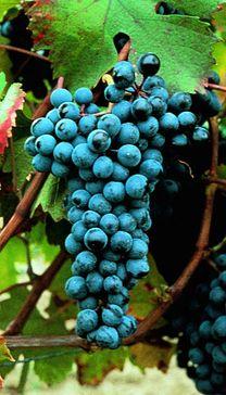 Dolcetto, which makes Dolcetto d'Asti, d'Acqui, di Dogliani, di Ovada, Colli Tortonesi, Langhe, & Monferrato. http://www.winepassitaly.it/index.php/en/learn/piedmont-wines-and-grapes/item/917-dolcetto-mini-guide