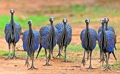 """""""vulturine guinea fowl"""" - Google Search"""