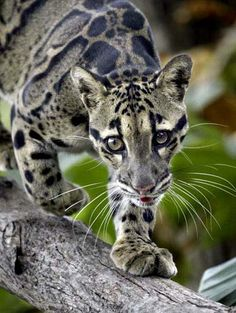 clouded leopard! The patterns reminds me of a snake... so cool.