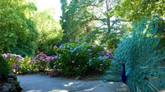 ✣ Peacock and Hydrangea   Cataract Gorge, Launceston, Tasmania  Photograph © Ellen Vaman www.facebook.com/ellen.vaman1 #EllenVaman #Photography #Tasmania #Launceston #CataractGorge #Peacocks #Hydrangea #Flowers #Garden #Beauty #Wildlife #NaturePhotography