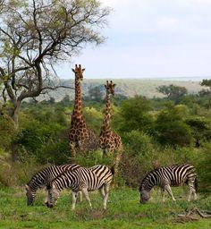 Giraffes and Zebras in Kruger National Park, South Africa.