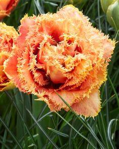 Tulip Sensual Touch - Flower Bulbs | DutchGrown®
