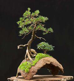 Mugo pine, Pinus mugo