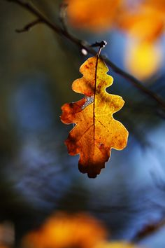 Stunning (last) Oak leaf, hanging on until the end.  Love the beautiful blue and orange hues in the background.  Photo courtesy of google.com.au.