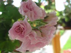Pelargonium 'Mallorca' ✨ ʈɦҽ ƥᎧɲɖ ❤ﻸ•·˙❤•·˙ﻸ❤ 🌸 🌹 ᘡℓvᘠ □☆□ ❉ღ // ✧彡☀️🌴 ●⊱❊⊰✦❁❀ ‿ ❀ ·✳︎· ☘‿ TH JUL 13 2017‿☘✨ ✤ ॐ ♕ ♚ εїз⚜✧❦♥⭐♢❃ ♦♡ ❊☘нανє α ηι¢є ∂αу ☘❊ ღ 彡✦ ❁ ༺✿༻✨ ♥ ♫ ~*~ ♆❤ ☾♪♕✫ ❁ ✦●↠ ஜℓvஜ .❤ﻸ•·˙❤•·˙ﻸ❤