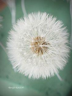 たんぽぽの綿毛ドライの作り方 の回   Lotus Flower リンゴカンチ