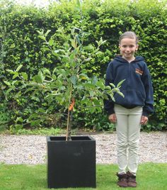 2-year old apple tree on M27 rootstock