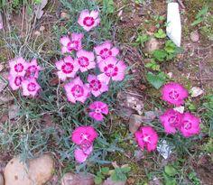 Dianthus 'Eastern Star' (dark) and Dianthus gratianopolitanus 'Flavora Rose Shades'