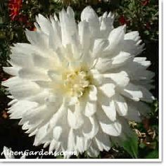 Carl Chilson White ID Nice large blooms with great form. White Dahlias, Cut Flowers, Bloom, Bird, Alps, Birds