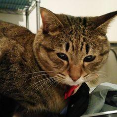 「こんばんわ~hi all~  #ねこ #猫 #猫写真 #ネコ #しましま軍団 #きじとら #きじねこ #キジトラ #キジネコ #cat #catstagram #igclubcats #ilovemycat #instacat #neko #tabby #kitty #meow…」