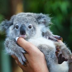 Who wants a handful of koala for their Monday morning? Bon Bon captures our hearts yet again by littlemissexplorer http://ift.tt/1UokkV2