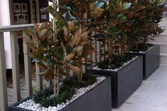 Beautiful Magnolia Little Gems for a tall screening hedge