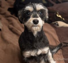 Minnie (she looks like a little panda!)  Schnauzer • Adult • Female • Small  Border Animal Rescue Bisbee, AZ