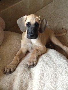 Can't wait to get our Great Dane Fawn puppy in the spring!!