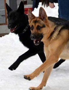 perros en sincronía