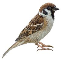 Afbeeldingsresultaat voor sparrow with baby bird Animal Paintings, Animal Drawings, Fairy Wallpaper, Beautiful Landscape Wallpaper, Sparrow Bird, Photoshop, Cardinal Birds, Pet Rocks, All Birds