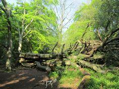 Crickley Hill  .... fallen tree