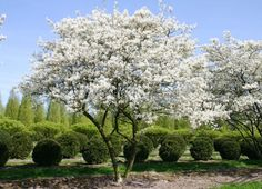 Beautiful formal garden with flowering trees.