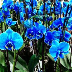 | blue orchid |  #orchid# #decoration# #homedecoration# #decor# #blueorchid#