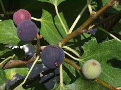 A Comprehensive Guide to Growing A Fruit-Bearing Fig Tree Indoors - Garden and Happy