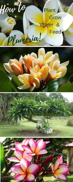 Fragrant Plumeria - The Sensation of Summer! How to plant grow water and feed fragrant plumeria! Plumeria Care, Plumeria Flowers, Growing Tomatoes Indoors, Growing Tomatoes In Containers, Grow Tomatoes, Cherry Tomatoes, Backyard Pool Landscaping, Landscaping Plants, Tropical Landscaping