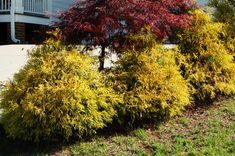 Chamaecyparis pisifera 'Golden Mop' Threadbranch False Cypress.. 3-4' wide, 4-6' tall.